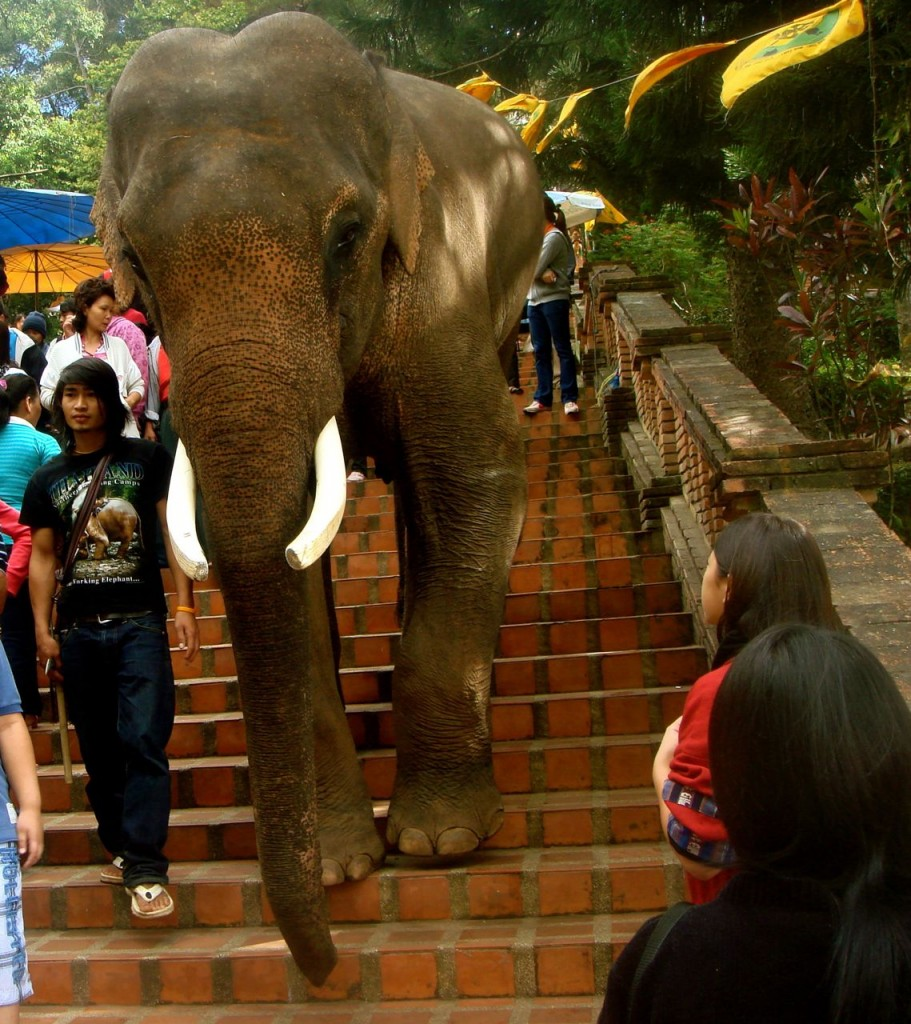 elephant decending stairs