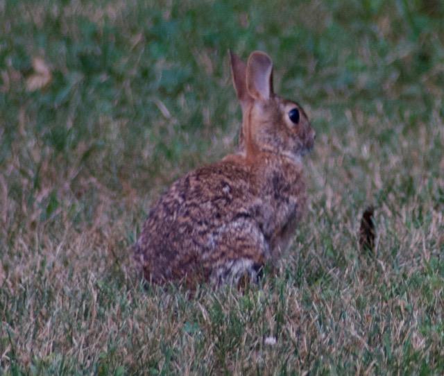 rabbit - 1